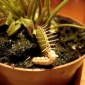 Embedded thumbnail for  Dionaea muscipula, mäsožravka v akcii